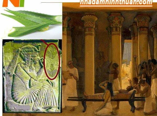 Cây nha đam giống đượC người Ai Cập trồng lần đầu tiên